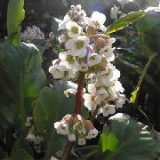 фото Бадан садовые декоративные цветы