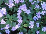 голубые Бальзамин цветы фото