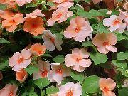 оранжевые Бальзамин цветы фото
