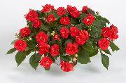 красные Бальзамин цветы фото