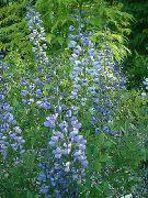 голубые Баптизия цветы фото